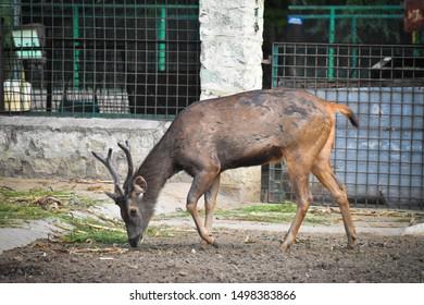 BEAUTIFUL SAMBAR DEER Rusa unicolor ANIMAL