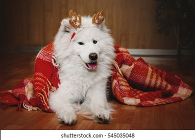 Beautiful Samoyed dog posing as a reindeer under red plaid at home