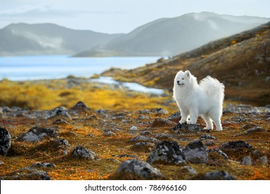 Beautiful Samoyed husky in the mountains of Teriberka