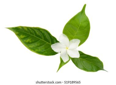 beautiful sampaguita flower isolated on white background