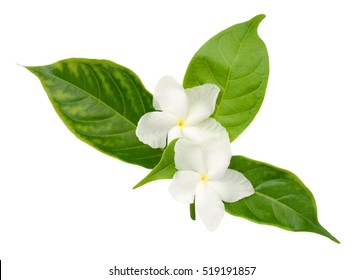 beautiful sampaguita flowers isolated on white background