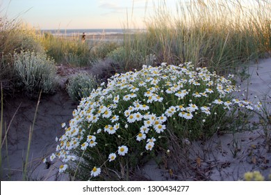 beautiful sand dune vegetation, white marguerites  at sunset in the Camargue region in the south of France at the Mediterranean sea.