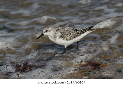 A beautiful Sanderling, Calidris alba, is feeding at the edge of the sea as the tide comes back in.