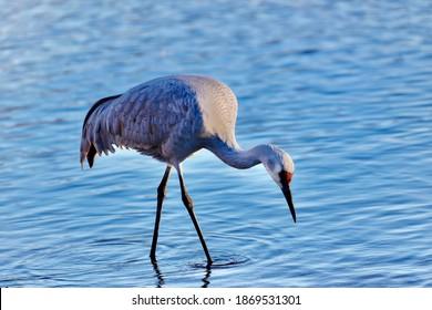 Beautiful sandhill crane in nature
