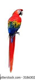 The Beautiful Scarlet Macaw (Ara macao) isolated on white background with full body length, exotic red bird