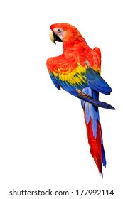Beautiful Scarlet Macaw bird in natural color isolated on white background