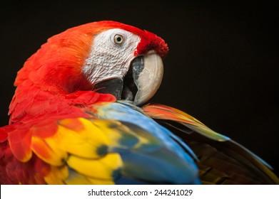 Scarlet Macaw Images, Stock Photos & Vectors | Shutterstock