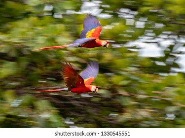 A Beautiful Scarlet Macaw Pair in Flight