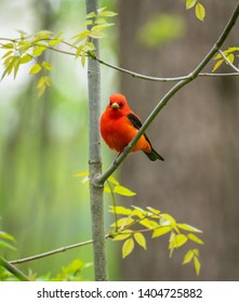 A beautiful Scarlet Tanager perched on a small branch in the Montezuma National Nature Refuge, Central New York, USA.  May 17th 2019