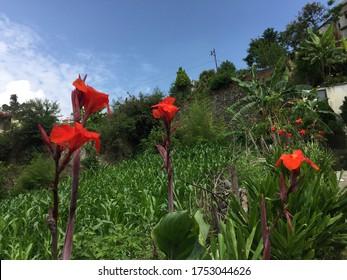 Beautiful scen and canna flower (7).Singa Nepal,June 10/2020.