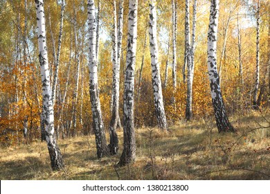 beautiful scene with birches in  in october among other birches in birch grove