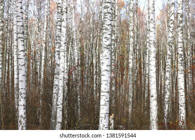 beautiful scene with birches in october among other birches with yellow birch leaves in birch grove