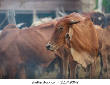 beautiful scene of Cattle sleepwalking with saliva drooling in the natural rural agricultural farm. Livestock Food industry, Traditional countryside Lifestyle concept.
