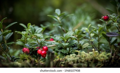 Beautiful scene with growing berries Lingonberries in the forest close-up. Lingonberry plants with Ripe red berries in natural environment, soft focus. Nature Wallpaper