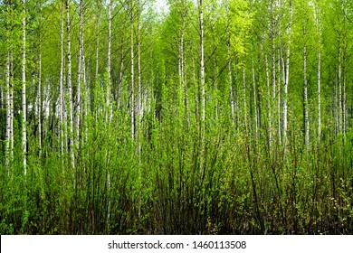 beautiful scene with white birches in spring time