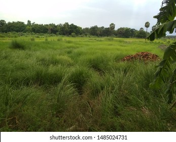 A beautiful scenerio of Big grasses and forest area - Shutterstock ID 1485024731