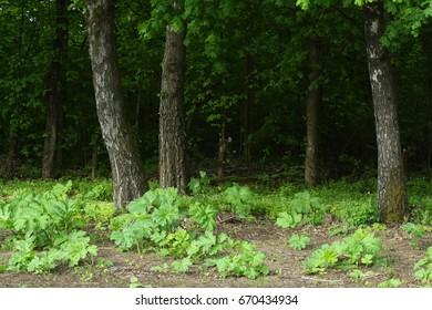 beautiful scenery, birches, wood