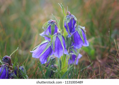 Beautiful scenery with blue bell flowers in summer mountains. Campanula Alpina