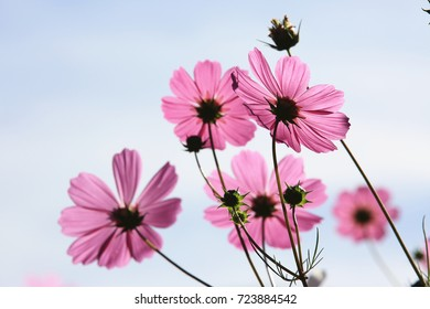 Beautiful scenery of cosmos flowers and buds with blue sky background,closeup
