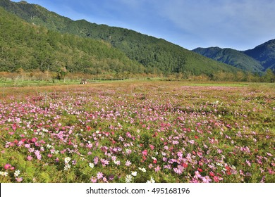 Beautiful scenery of cosmos flowers with mountains,many pink,white and red flowers blooming in the field in a sunny day
