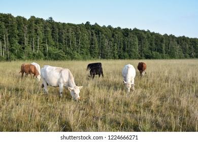 Beautiful scenery with a group grazing cattle in a green grassland