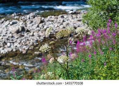 beautiful scenery of a norwegian river with some blooming fireweed in the foreground