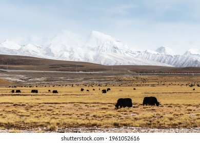 beautiful scenery of qinghai-tibet plateau, yak pastures with snow-capped mountain, nagqu prefecture, China