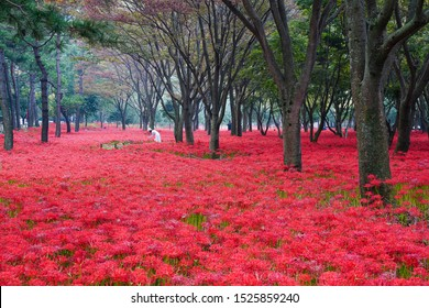 Beautiful scenery of Resurrection Lily in the woods