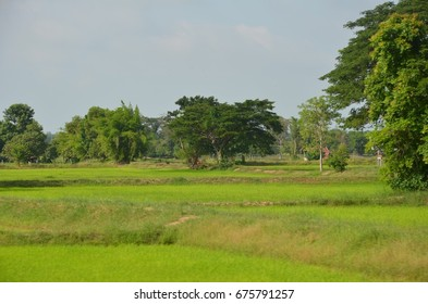 Beautiful scenery rice field and green trees in Mahasarakham Northeast Thailand.