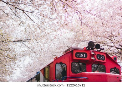 a beautiful scenery of a train parking between full blooming pink cherry blossom, sakura, tree beside the train at the famous tourist attraction landmark station at gunhandje festival at Jinhae, Korea