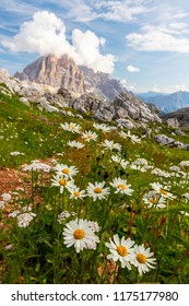 Beautiful scenery with wild daisies and rocky peaks in the Dolomite Mountains, Italy, in summer