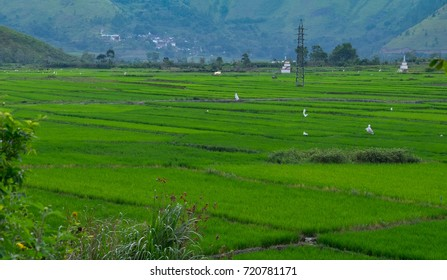 Beautiful scenic of Green rice field in Samosir Island with mountain in the background. This island locate in Lake Toba, a large crater lake in northern Sumatra, Indonesia.