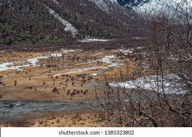 Beautiful Scenic of Group of Deers eating grass in Meadow at The mountain of Yading nuture reserve,China