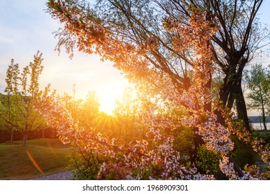 Beautiful scenic view of blooming cherry tree flower in green countryside orchard against warm sunset evening light sun rays. Nature springtime blossoming garden background