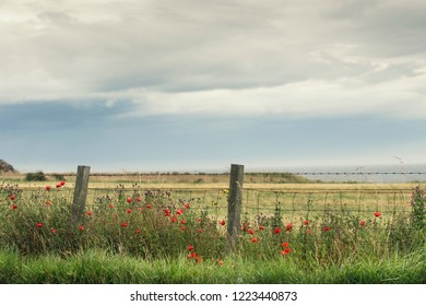 Beautiful scenic view of the Scottish wheat field, wild roadside flowers in the foreground.