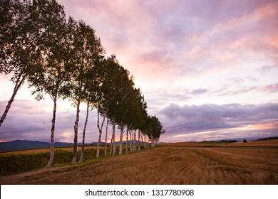 Beautiful scenic view of sunset and pine tree the meadow in Biei, Hokkaido, Japan