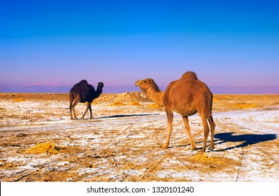 Beautiful scenic view, two camels on colorful sand with dried salt crust at the background of evening blue sky near Namak lake in Maranjab desert, Isfahan province, Iran, Middle (Near) East, Asia