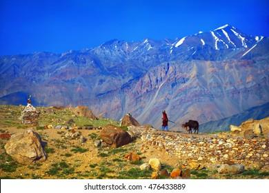 Beautiful scenic view: woman shepherd with two dzo (hybrid yak) against the background of colorful mountain range near small village in Suru valley, Ladakh, Himalaya, Jammu & Kashmir, Northern India