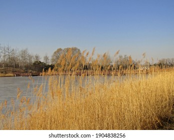 Beautiful scenic view of yellow reeds clusters growing on lakeside, with wooden bridge over icy lake and leafless trees on the other lakeside under clear blue sky in winter in Beijing, China - Shutterstock ID 1904838256