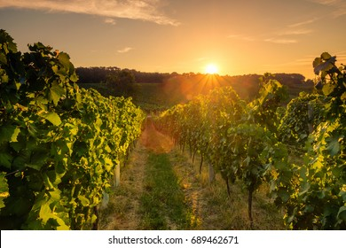 Beautiful scenic vineyards at sunset, Czech republic