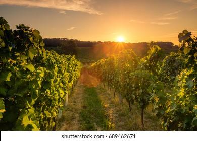 Beautiful scenic vineyards at sunset, Czech republic