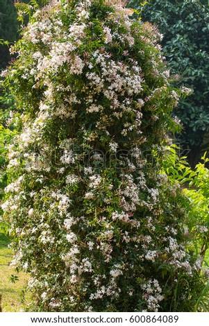 Beautiful Scented White Nepal Jasmine S Stock Photo Edit Now