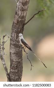 Beautiful Scissor tailed flycatcher