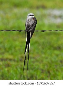 A Beautiful Scissor-Tailed Flycatcher Sits on a Fence in the Rain