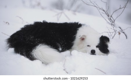 Beautiful Scottish Border Collie in the snow in the Scottish Highlands.