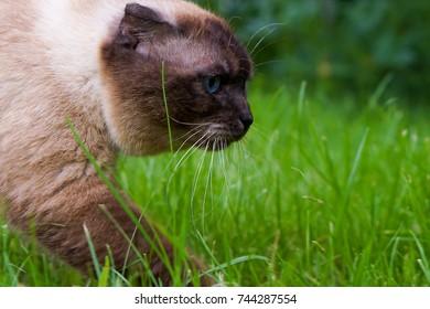 beautiful scottish fold siamese mix cat. summer