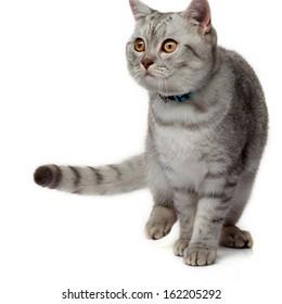 Beautiful scottish grey cat close up