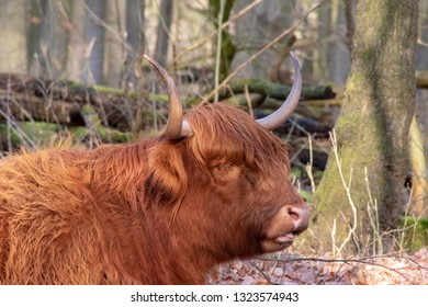 Beautiful Scottish Higland cow seen from the side mouth open big horns. In forest of Amsterdam, The Netherlands, Europe.