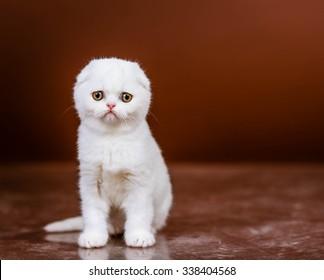 Beautiful Scottish  kitten in a studio, closeup portrait