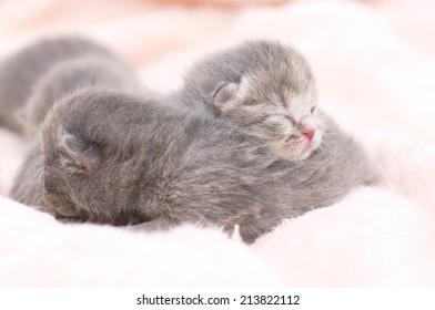Beautiful Scottish young cats